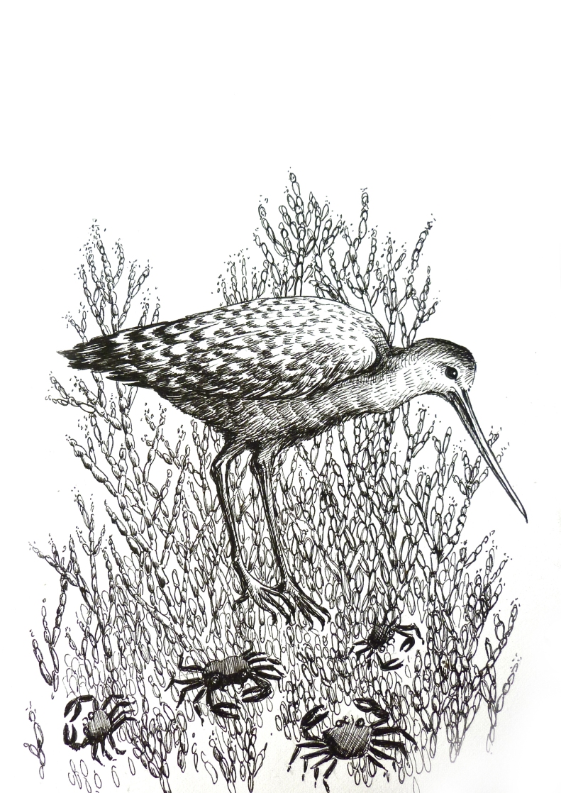 Pickleweed and Marbled Godwit