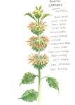 botanical illustration by franky frances cannon