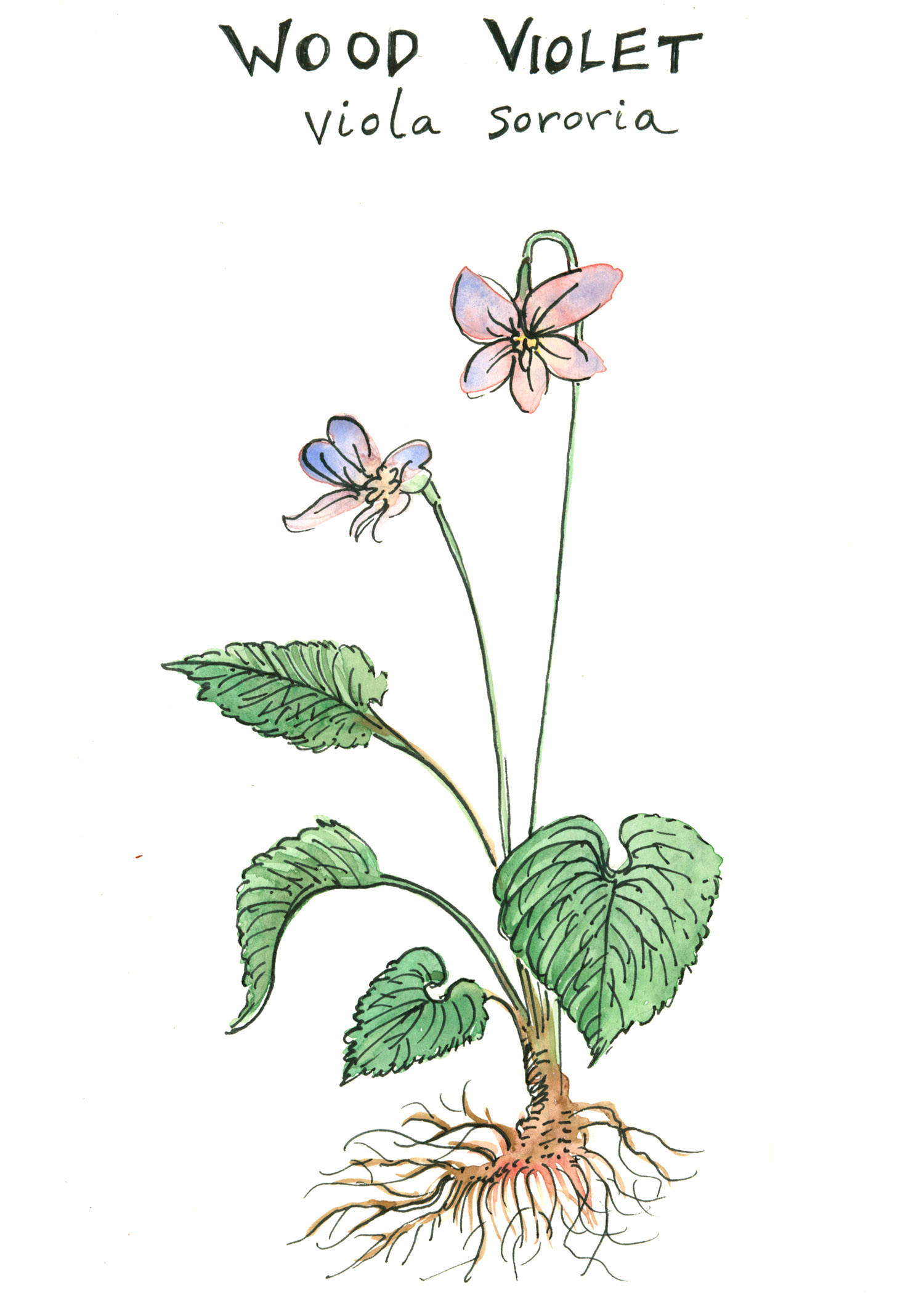 wood violet botanical illustration by franky frances cannon